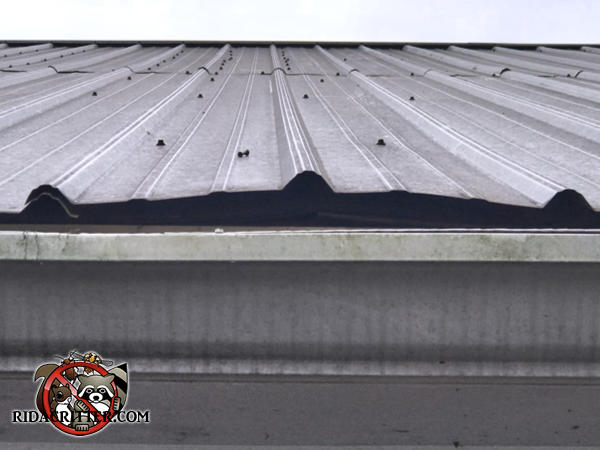 The metal roof is popped up an inch or so from the rafters which made it easier for bats to get into the building