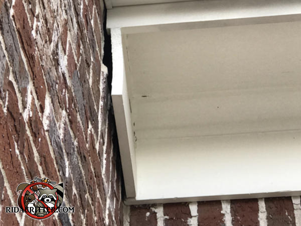 The wooden trim of the house is about three quarters of an inch away from the bricks allowing bats to get into the house