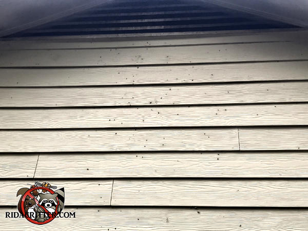 Bat stains on the gable vent and bat guano on the siding of a house in Stockbridge Georgia are evidence of bats in the attic