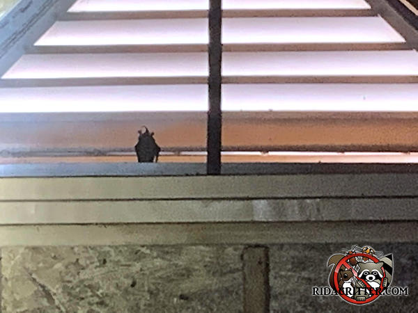 Solitary bat hanging in a gable vent at a house in in Covington Georgia