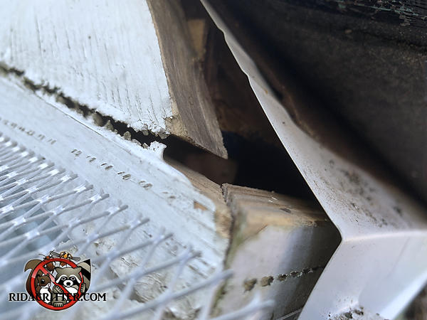 Lifted shingle reveals a gap under the flashing that allowed bats through a construction gap in the roof at a house in Gainesville Georgia.