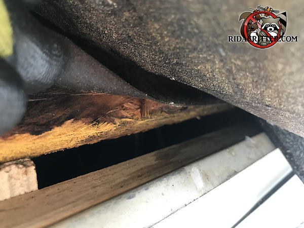 Half inch gap between the roof sheathing and fascia with stains where bats were using the gap to get into the attic of a house in Gainesville Georgia