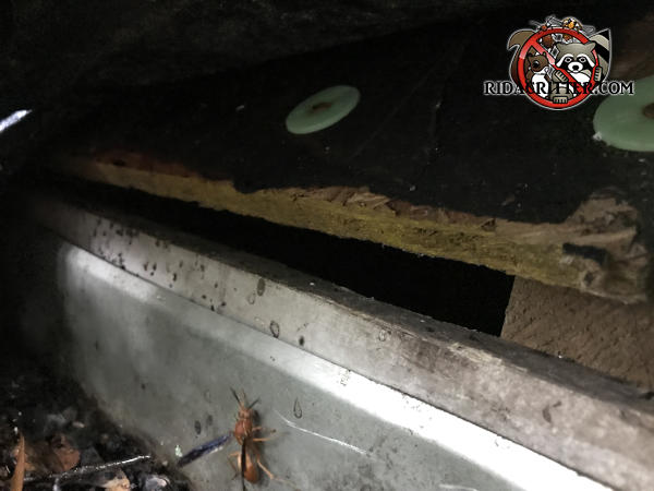 Half inch gap between the roof sheathing and the stained wooden fascia of a house in Mansfield Georgia allowed bats into the attic of the house