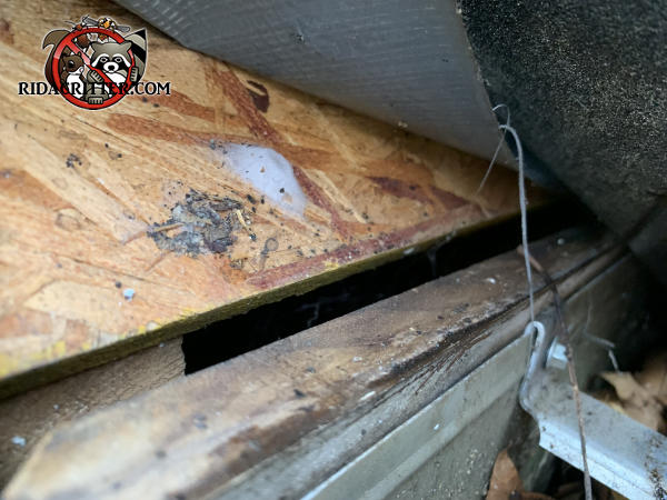 Gap of less than half an inch between the flake board roof sheathing and the stained fascia allowed bats into the attic of a house in Marietta