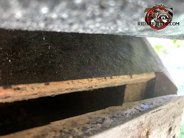 Lifted shingle reveals a five eighths inch gap between the roof sheathing and fascia that bats used to get into the attic of a Powder Springs Georgia home