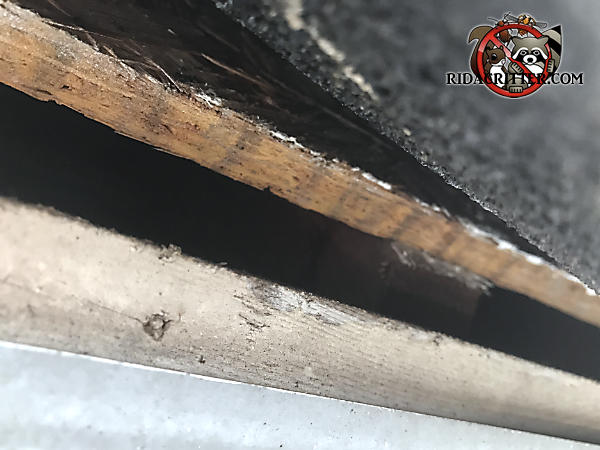 Lifted shingle reveals a half inch gap between the plywood roof sheathing and the wooden fascia that needs to be sealed to keep bats out of the attic of a house in Suwanee Georgia