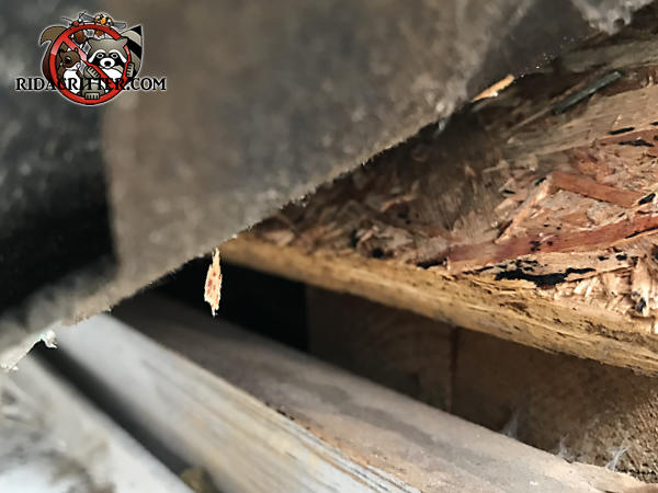 Lifted shingle reveals a five eighths inch gap between the roof sheathing and the fascia that allowed bats into the attic of a house in Zebulon Georgia