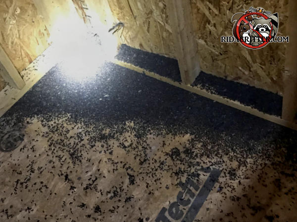 Pile of bat guano one to two inches deep in the corner of the attic of a house in Athens Georgia