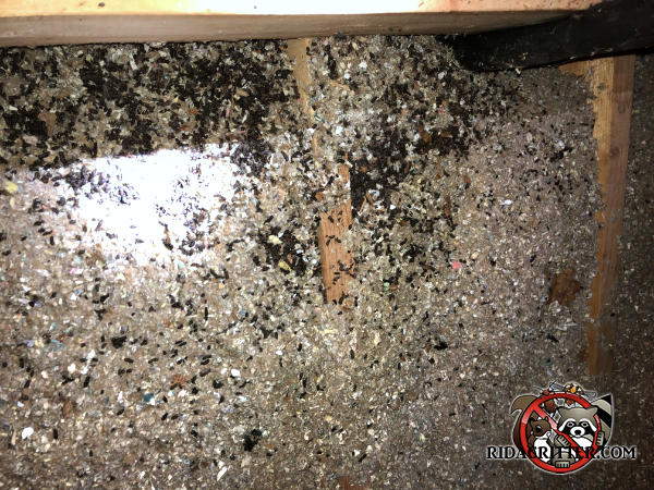 Bat guano in the insulation between the joists of an unfinished attic of a house in East Brainerd Tennessee
