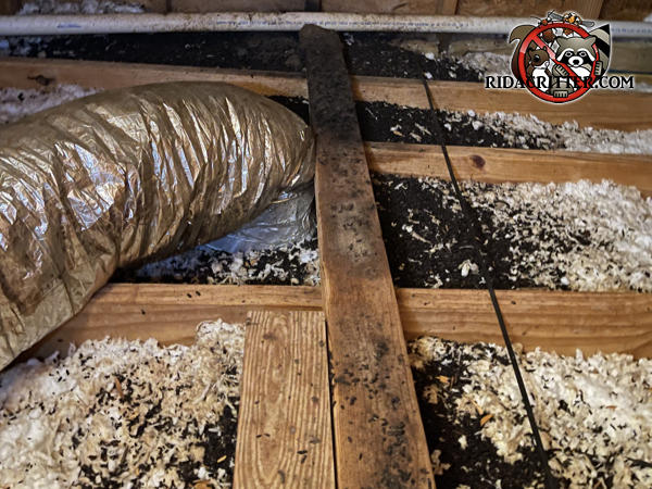 Bat guano in the insulation between the joists in the unfinished attic of a house in Fort Valley Georgia.