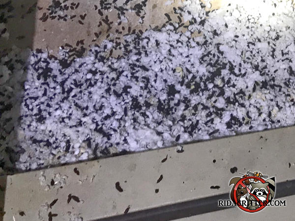 Small amount of bat guano in the attic insulation in the attic of a house in Roswell Georgia