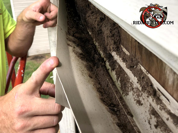 Technician pulling siding away from a house in Atlanta to reveal the bat guano behind the siding