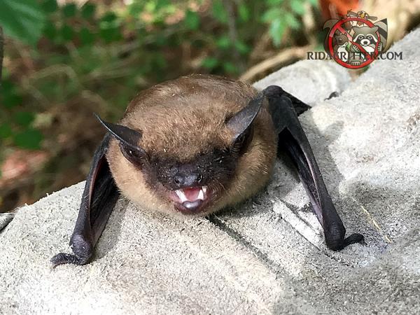 Bat Removal Macon Georgia