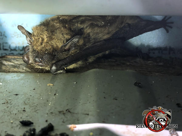 Close up of a bat crouched down and facing the camera in the tin roof of a house in Griffin Georgia