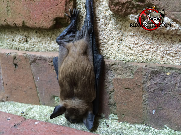 Bat Removal Macon Georgia