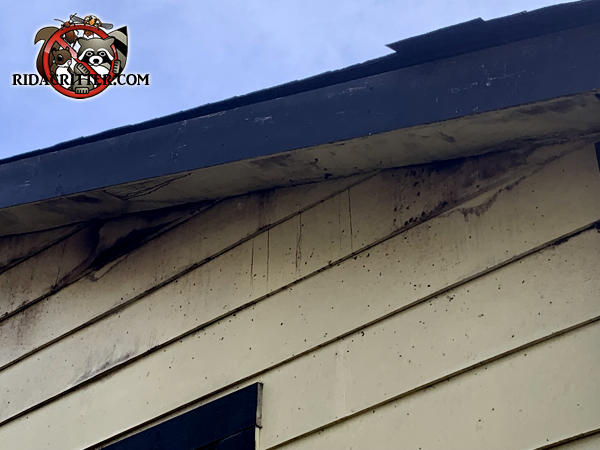 Heavy bat guano stains coming from under the soffit near the peak of the roof