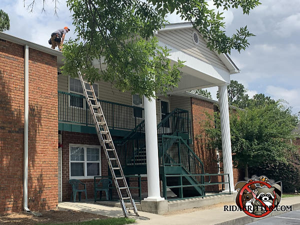 Man standing on the roof next to a ladder leaning against an apartment building in Tifton Georgia performing bat removal work