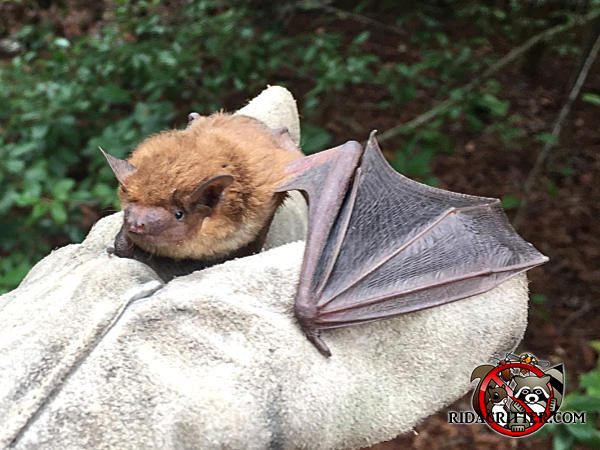 Bat in the gloved hand of a technician after being removed from the attic of a house in Chattanooga