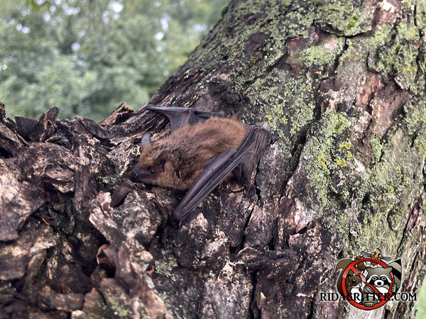 A bat on a tree after being removed from and sealed out of a house in Fort Valley Georgia.