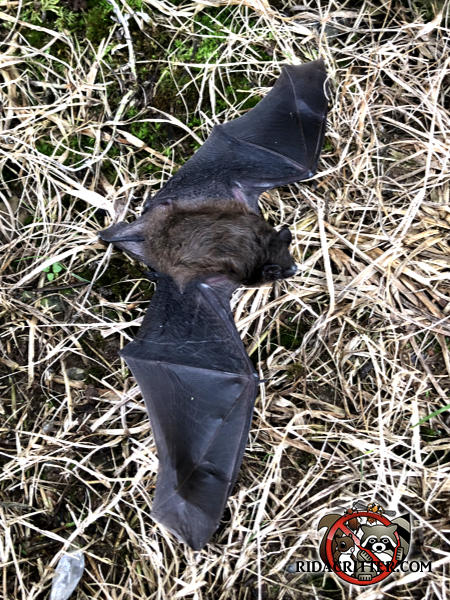 Bat in the grass in the daytime after being removed from a house in Macon