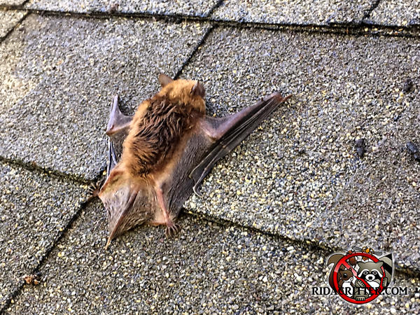 A bat on the roof of a house in Atlanta because we sealed up the house and it couldn