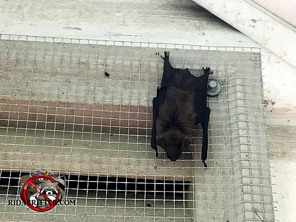 Bat Removal Amp Bat Proofing Atlanta Marietta Peachtree City