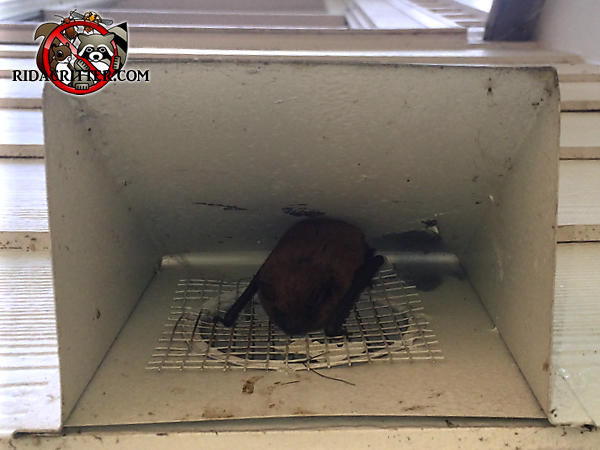 Bat on the screen covering the clothes dryer vent after after being sealed out of a house in Stone Mountain Georgia