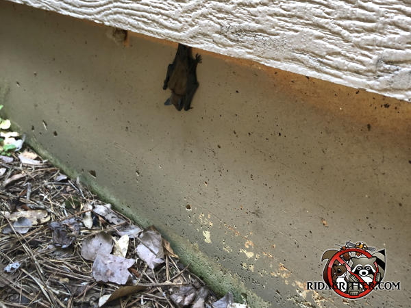 Bat hanging upside down under the siding of a house in Johns Creek Georgia because the roof was sealed and the bat cant get back into the attic