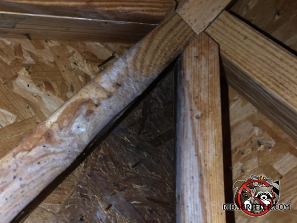 Heavy bat stains on the wooden framing and sheathing at an acute angle in the construction in the unfinished attic of a house in Odenville Alabama