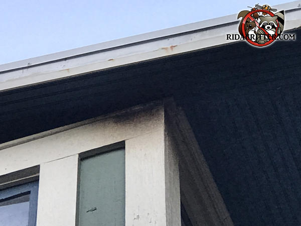 Ten inch long smudge of bat rub marks on the exterior wall of the house right below the soffit