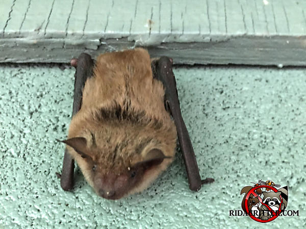 Bat clinging to the exterior wall of a house in Alpharetta Georgia
