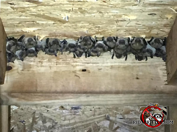 About two dozen bats hanging between the rafters in the attic of a house in Atlanta