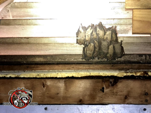 A dozen bats huddled on the screen of a gable vent in the attic of a house in Atlanta