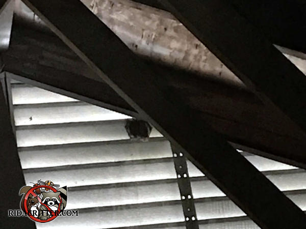 Two or three bats huddled together on the gable vent slats in the attic of a house in Dunwoody Georgia