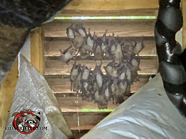 About three dozen bats hanging from a wooden slat gable vent in the attic of a house in Marietta Georgia