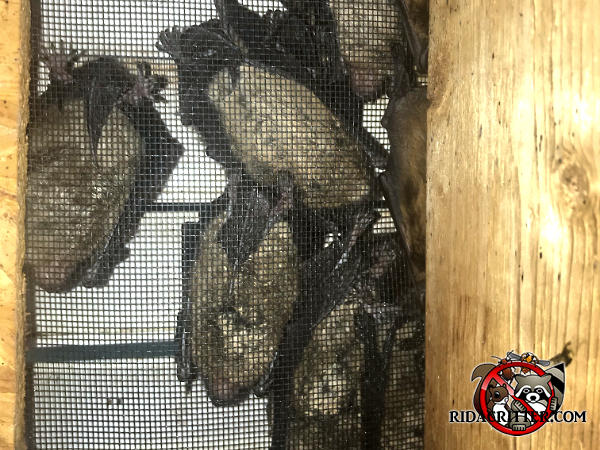 Several bats huddled outside a gable vent screen after having been excluded from the attic of a house in Thomaston Georgia.