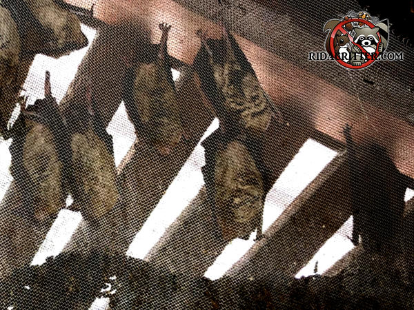 Eight bats on the screen of a gable vent in the attic of a house in Atlanta need to be excluded from the attic.