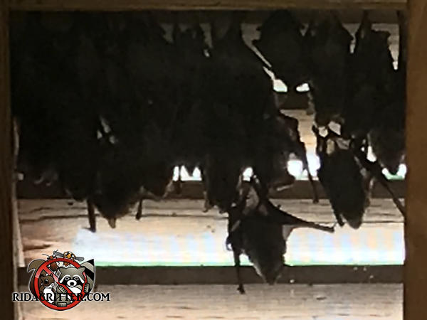 About two dozen bats clustered together on the gable vent screen of a house in Chattanooga Tennessee