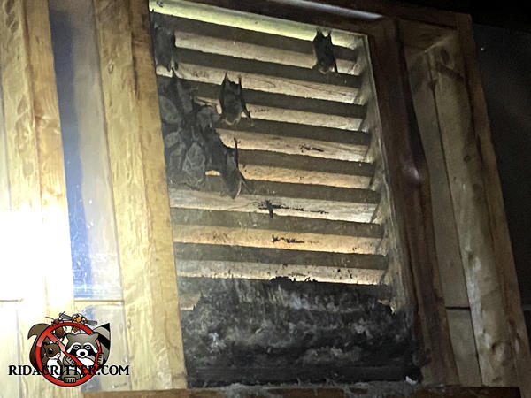 About a dozen bats between a gable vent and its screen with guano on the bottom of the vent frame in an attic in Marietta Georgia.