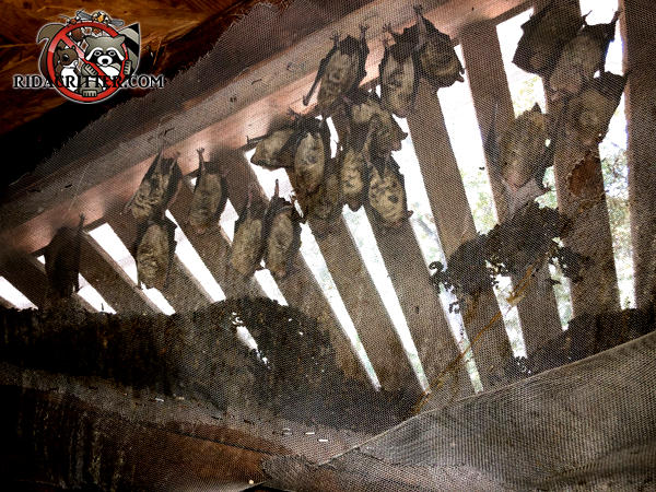 About two dozen bats hanging on the screen outside a gable vent to the attic of a house in Roswell Georgia.