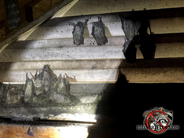 About a dozen or so bats hanging on the screen behind a gable vent in the attic of a house