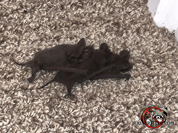Three young bats huddled together on the carpet in a house in Atlanta