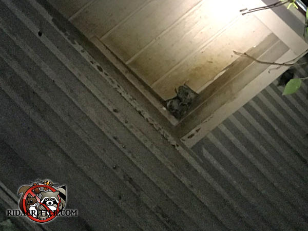 Several bats huddled under a soffit because they were sealed out of the house