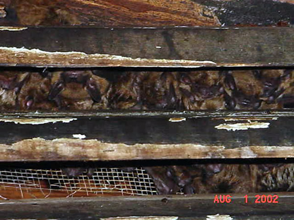 Bats in the attic of a house in Sandy Springs