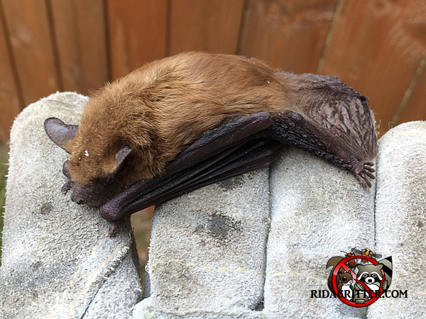 Bat Removal And Exclusion Georgia Alabama South Carolina
