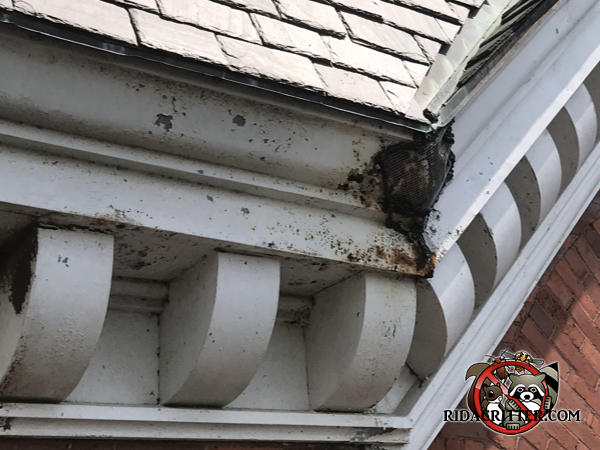 Bat guano around a corner of the roof trim with detached screening the homeowner used to try to seal the bats out