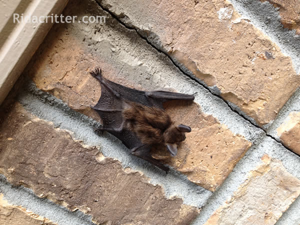 Bat removed from a home in Mableton