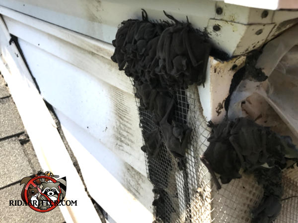 Several dozen bats on a section of hardware cloth temporarily used to seal them out of a house in Atlanta