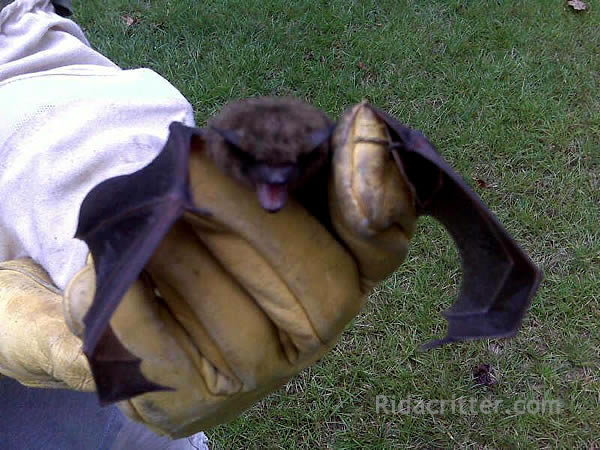 A bat (animal) in a technician's gloved hand