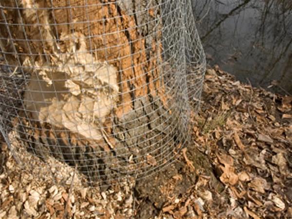 Beaver removal tree protection atlanta marietta
